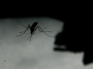 mosquito_makro